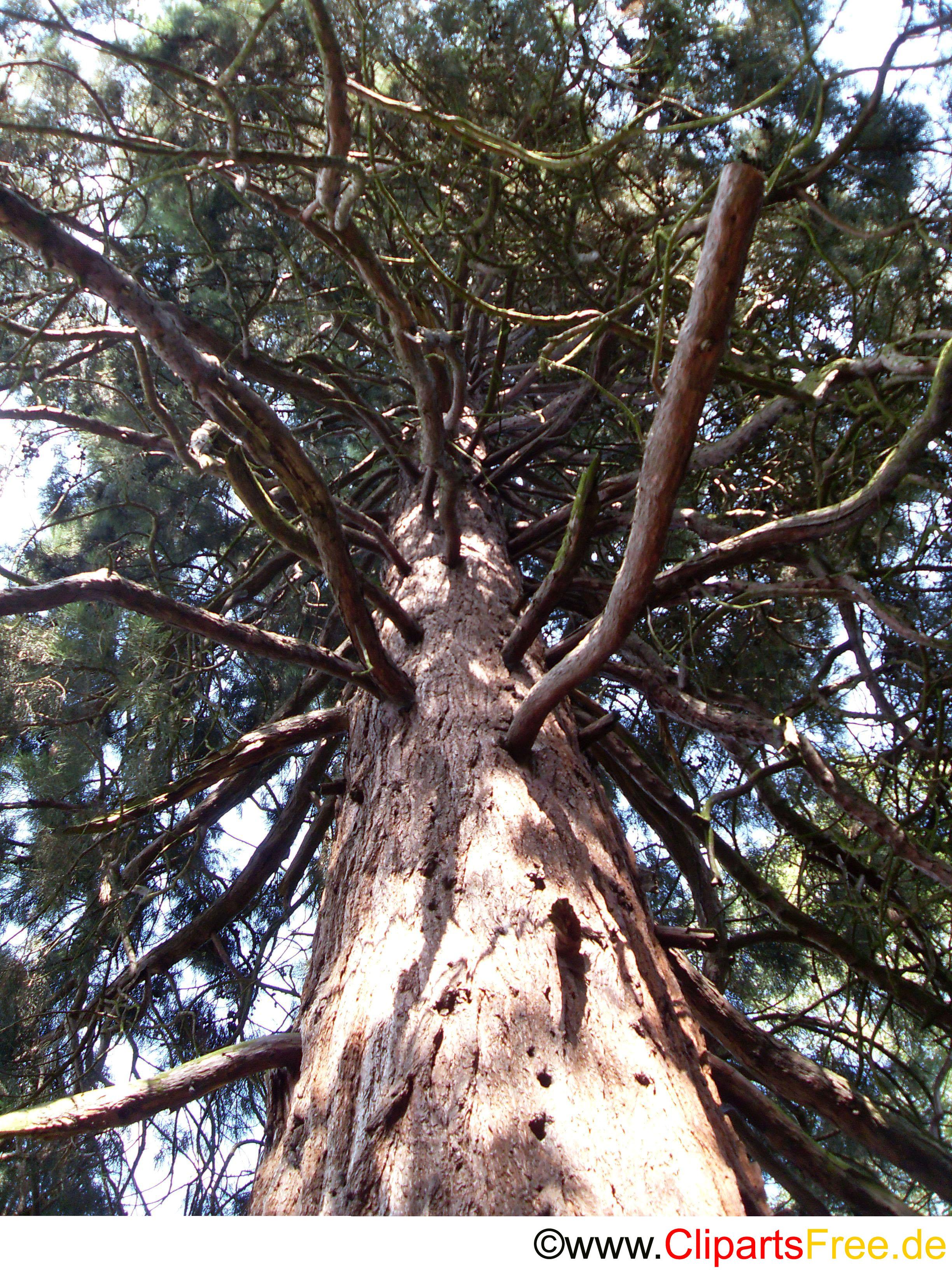 Kiefer im Wald Bild kostenlos