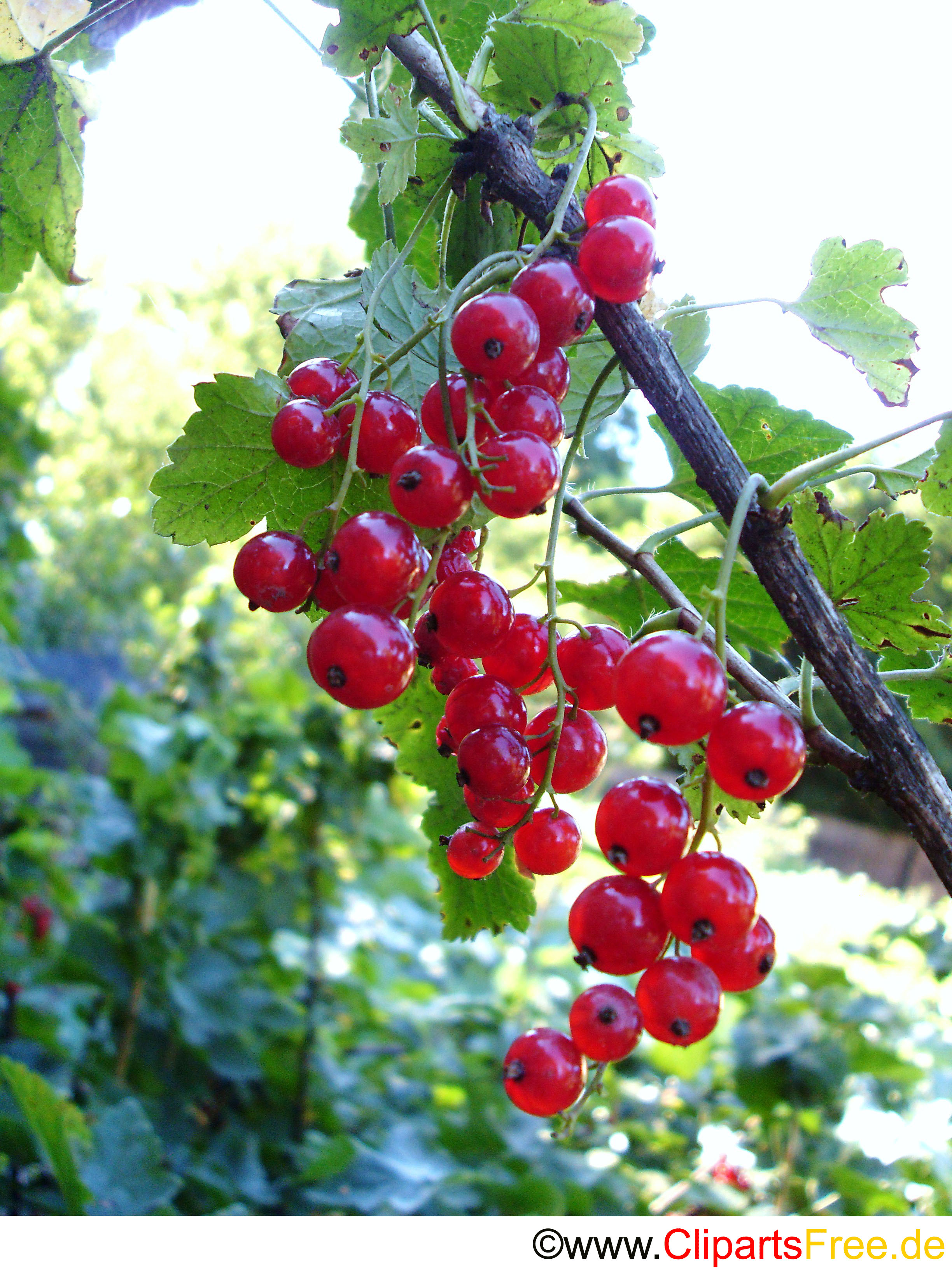 Foto rote Johannisbeeren