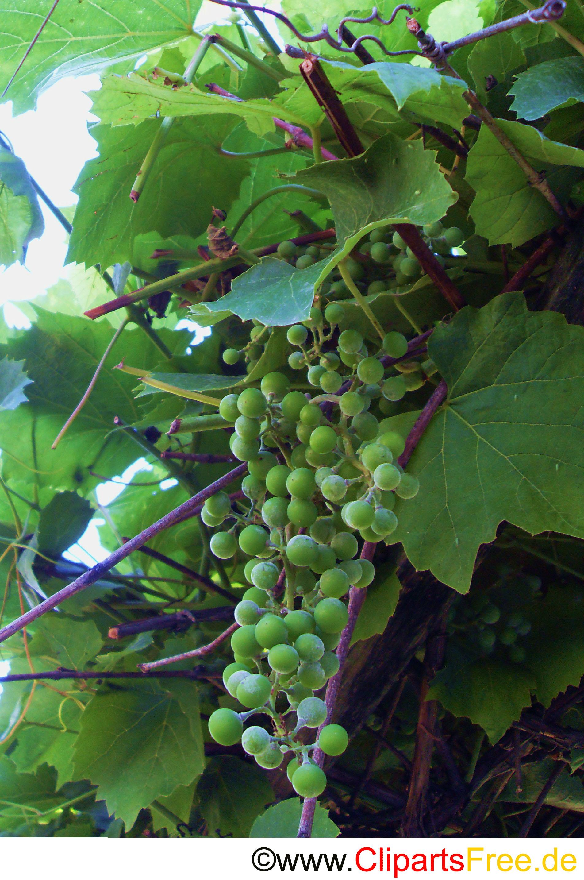 Grüne Weintrauben Foto