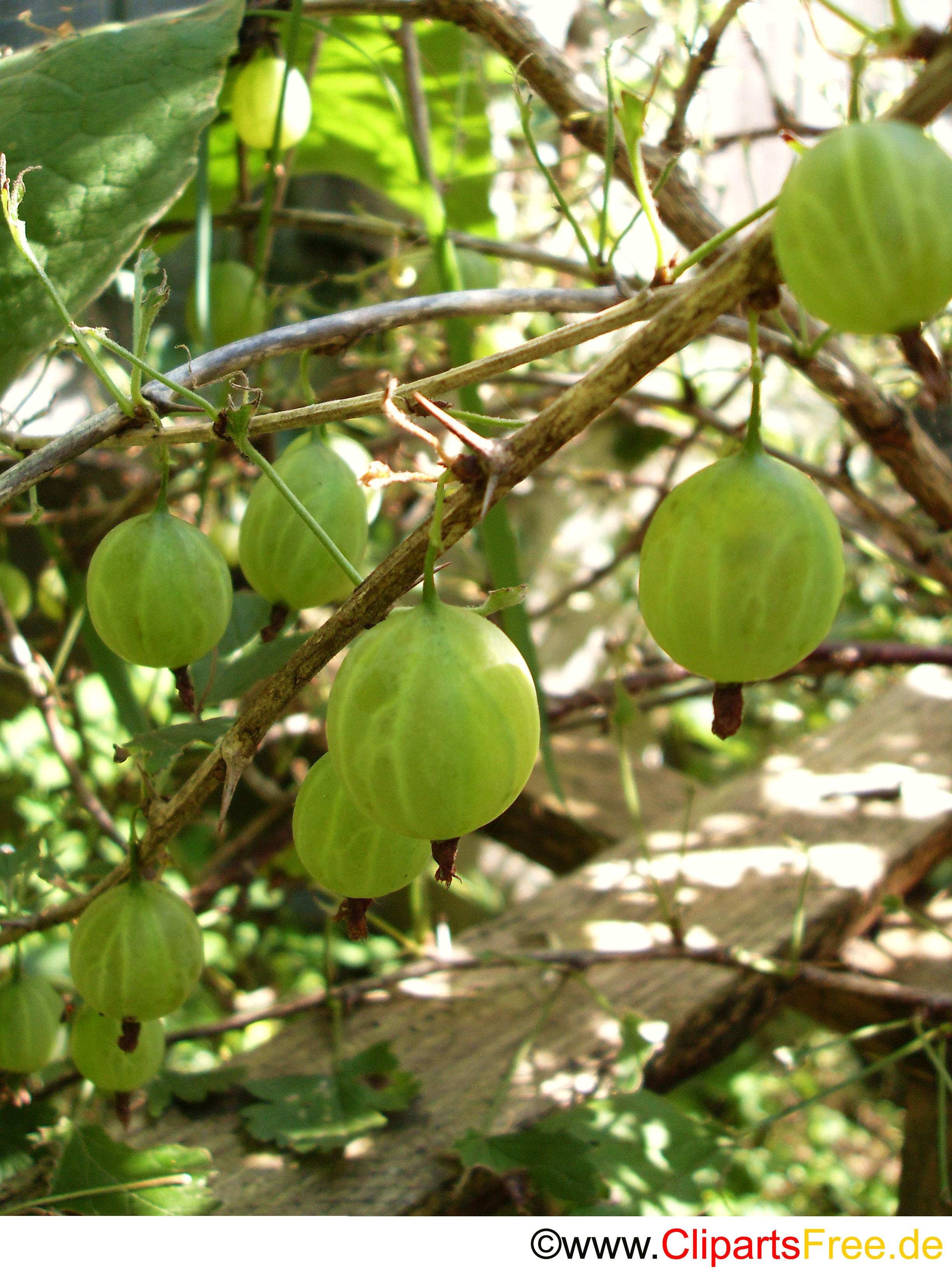 Stachelbeeren im Garten foto für Unterricht