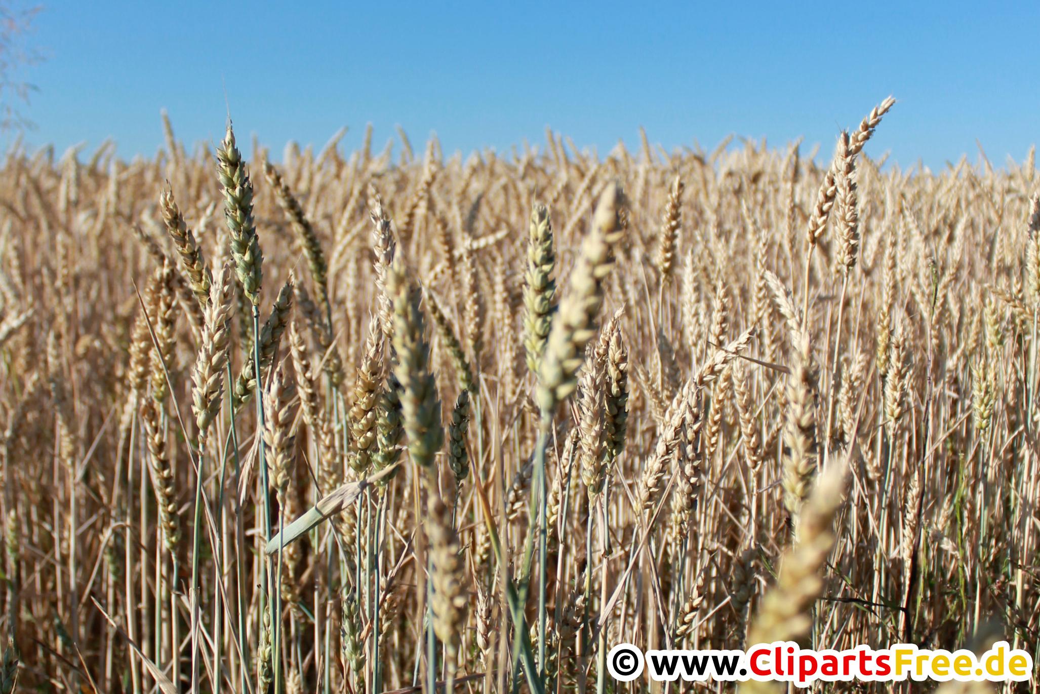 Getreide Foto, Bild kostenlos