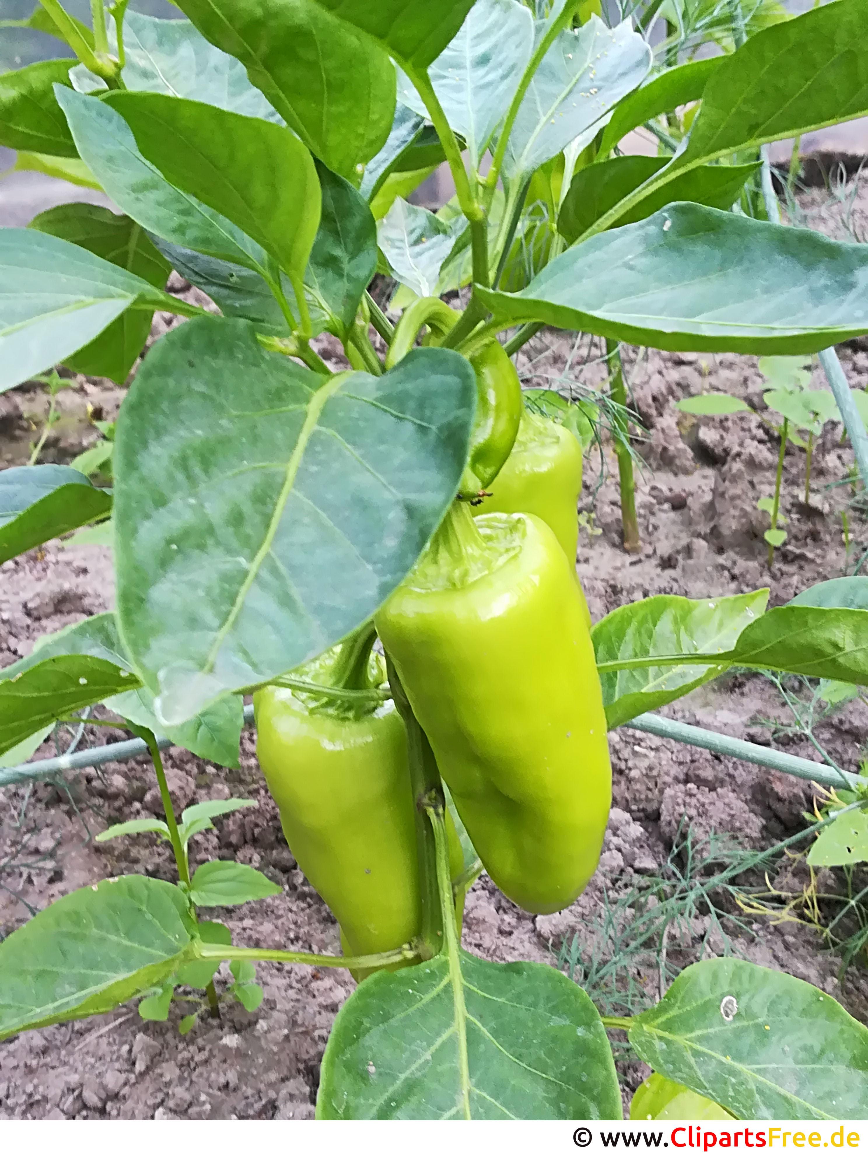 Foto grüne Paprika kostenlos