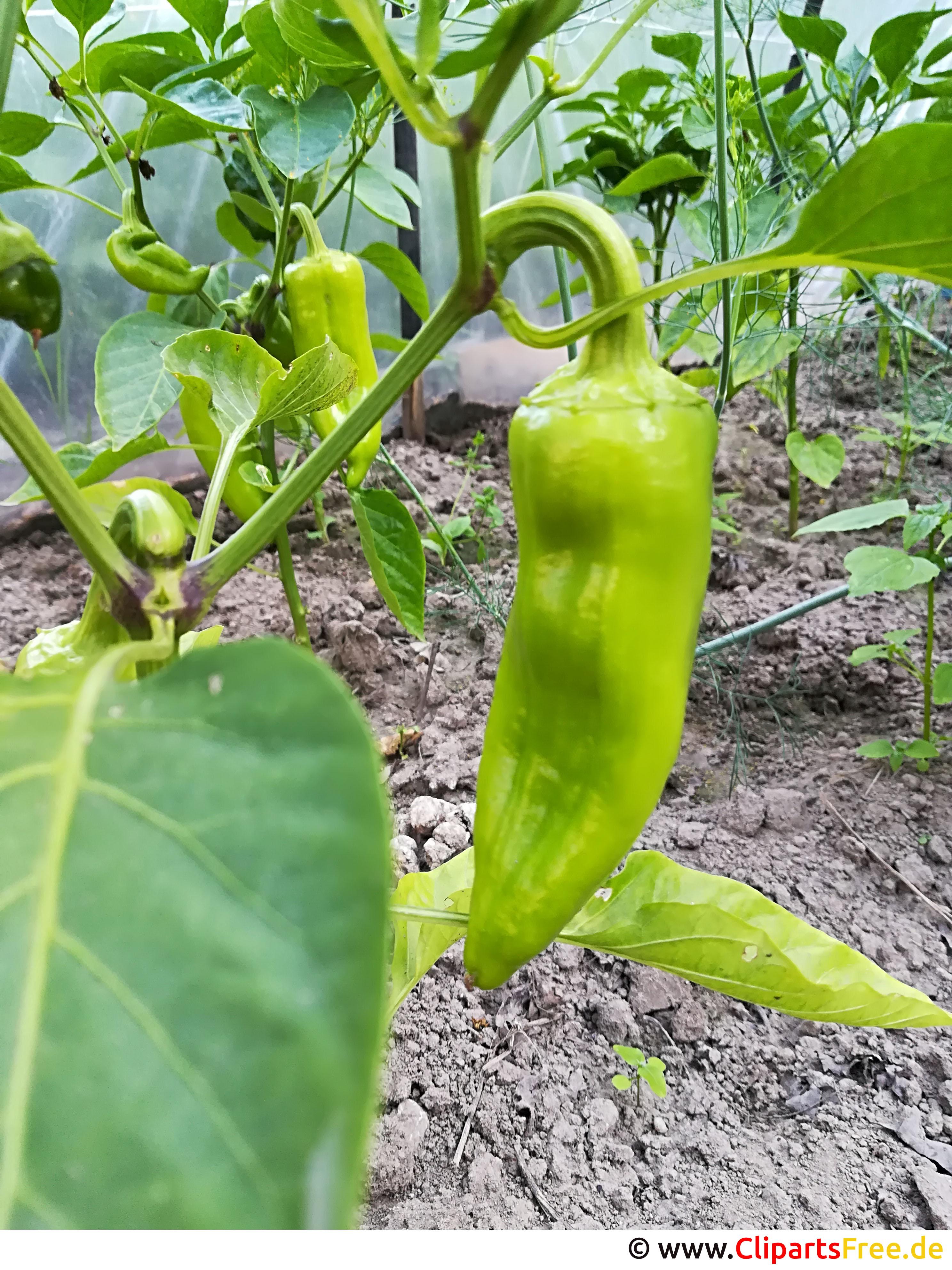 Grüne Paprika im Garten Bild, Foto, Grafik kostenlos