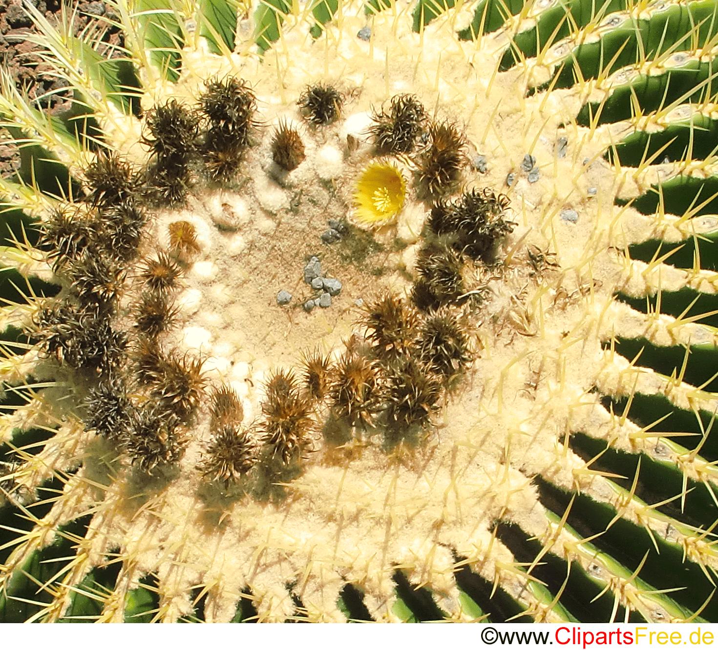 Echinocactus Grusonii Mexico Foto kostenlos