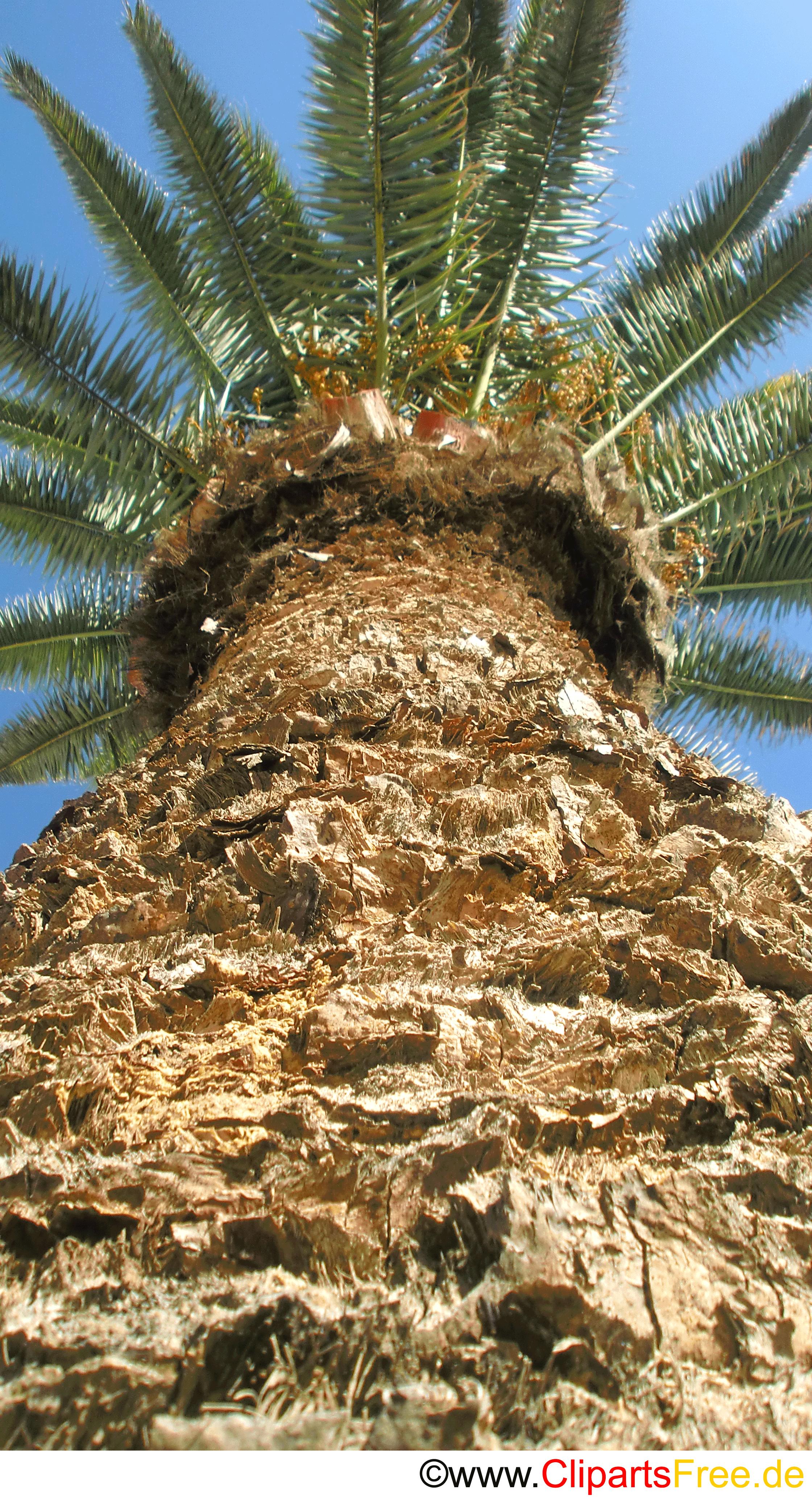 Palme mit Früchten Fotobild kostenlos