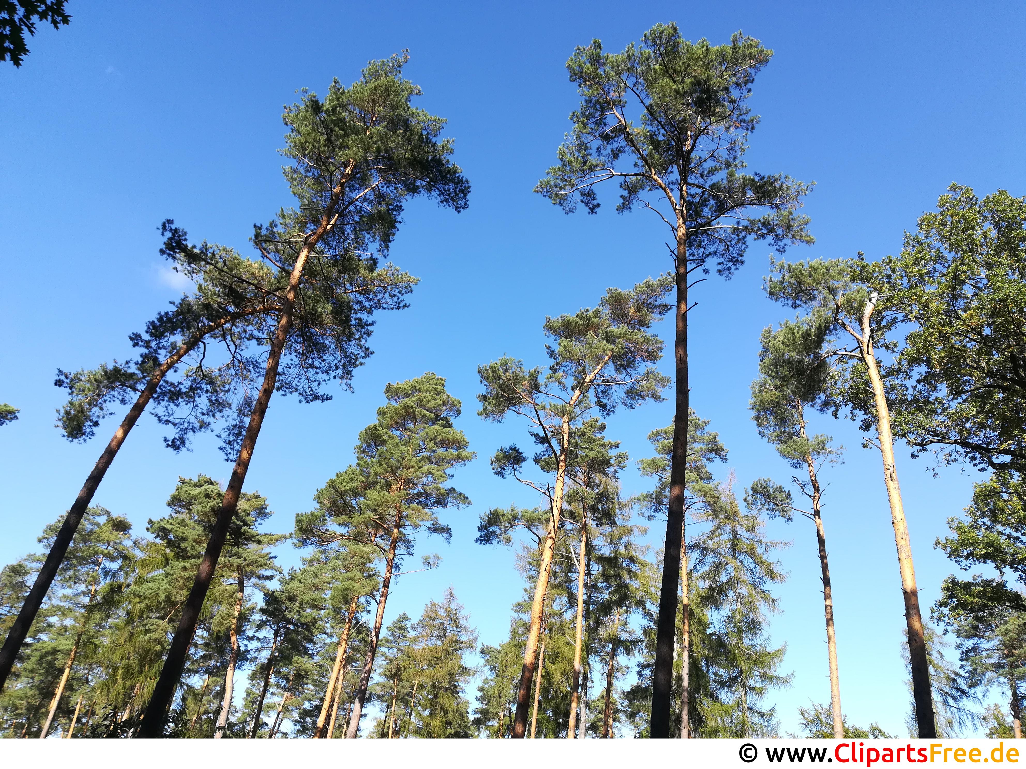 Hohe Kiefern im Wald Foto gratis