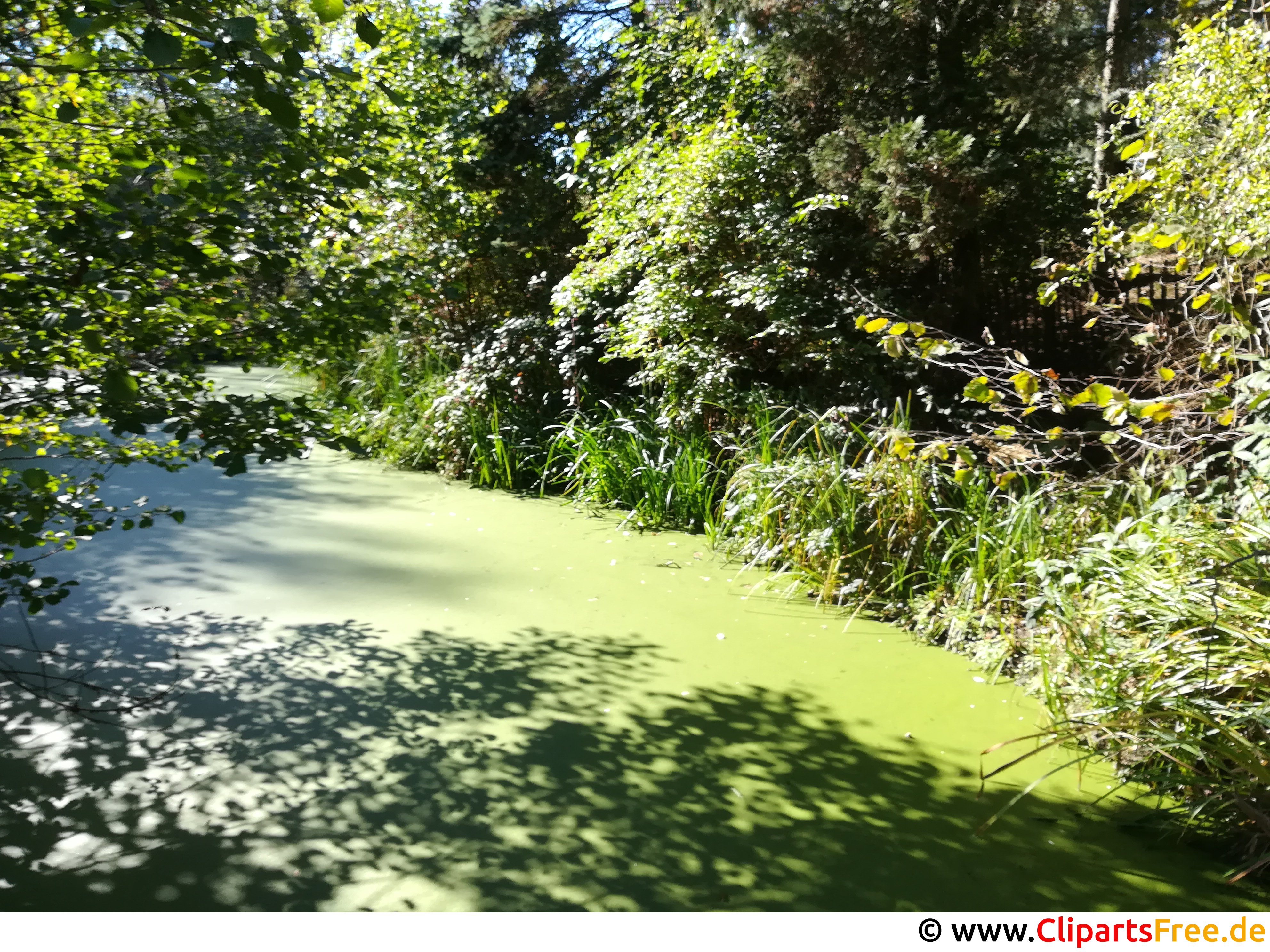 Teich mit Algen im Wald Foto kostenlos