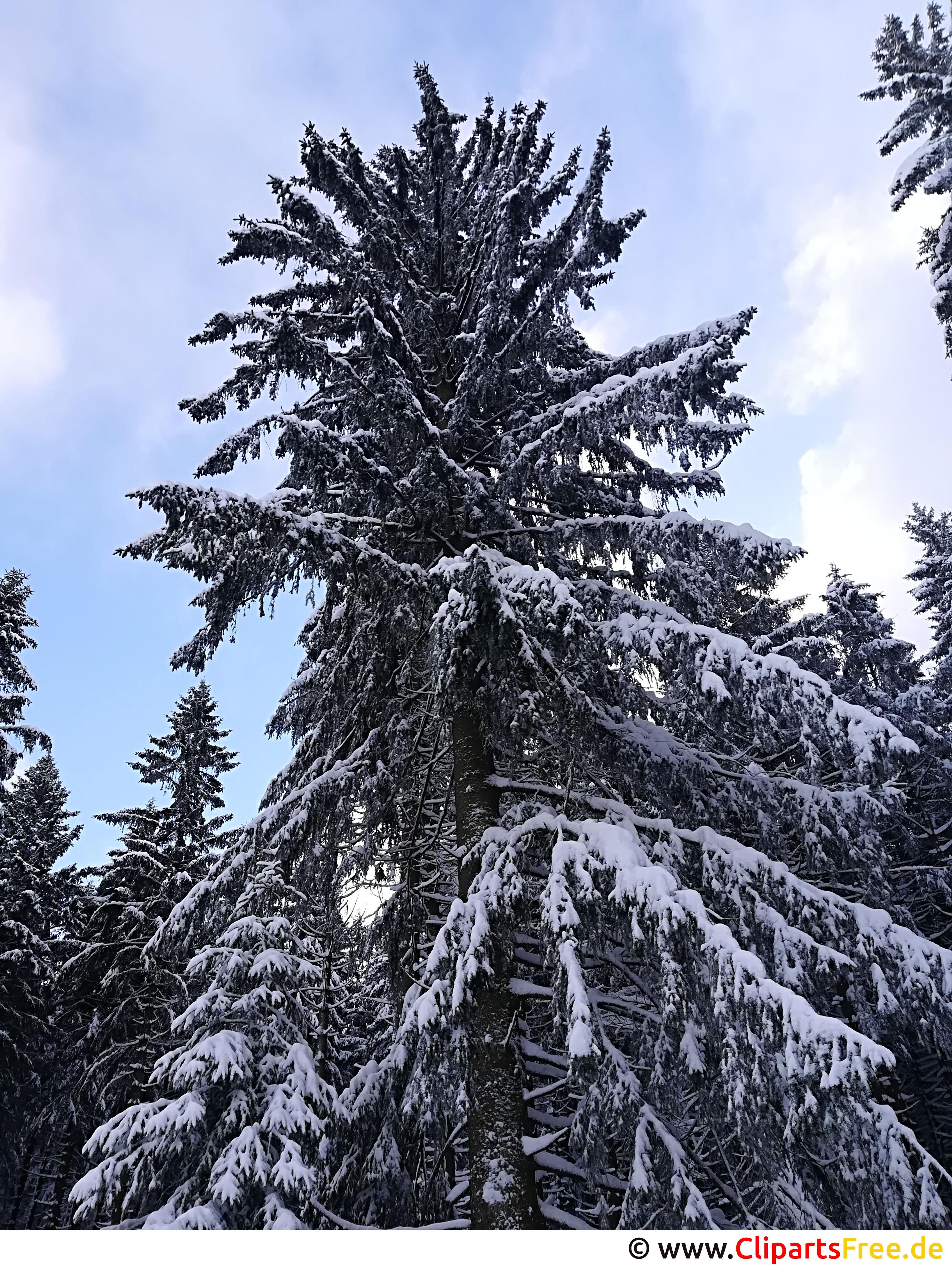 Tanne im Winter, Schnee Bild, Foto, Grafik kostenlos