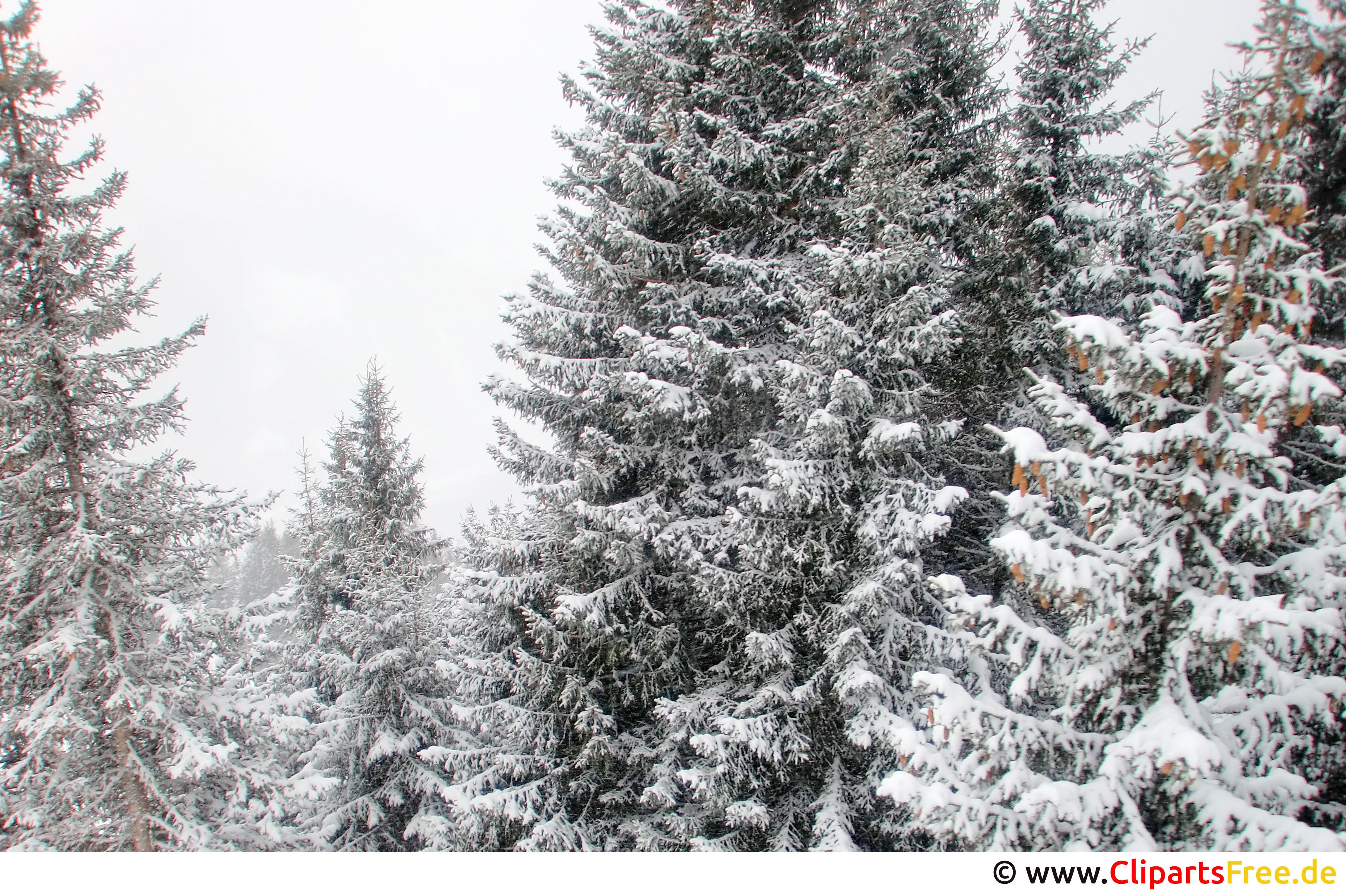 Tannen im Schnee Bild, Foto, Grafik kostenlos