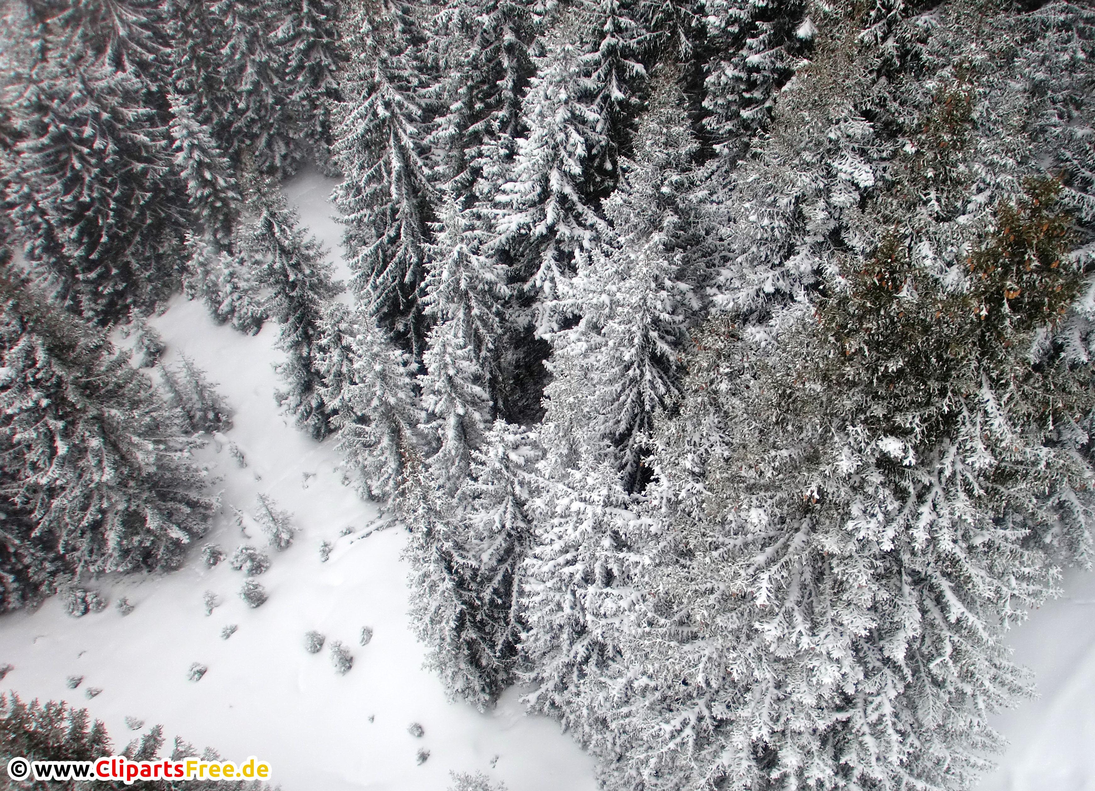 Tannenbäume im Winter Foto kostenlos