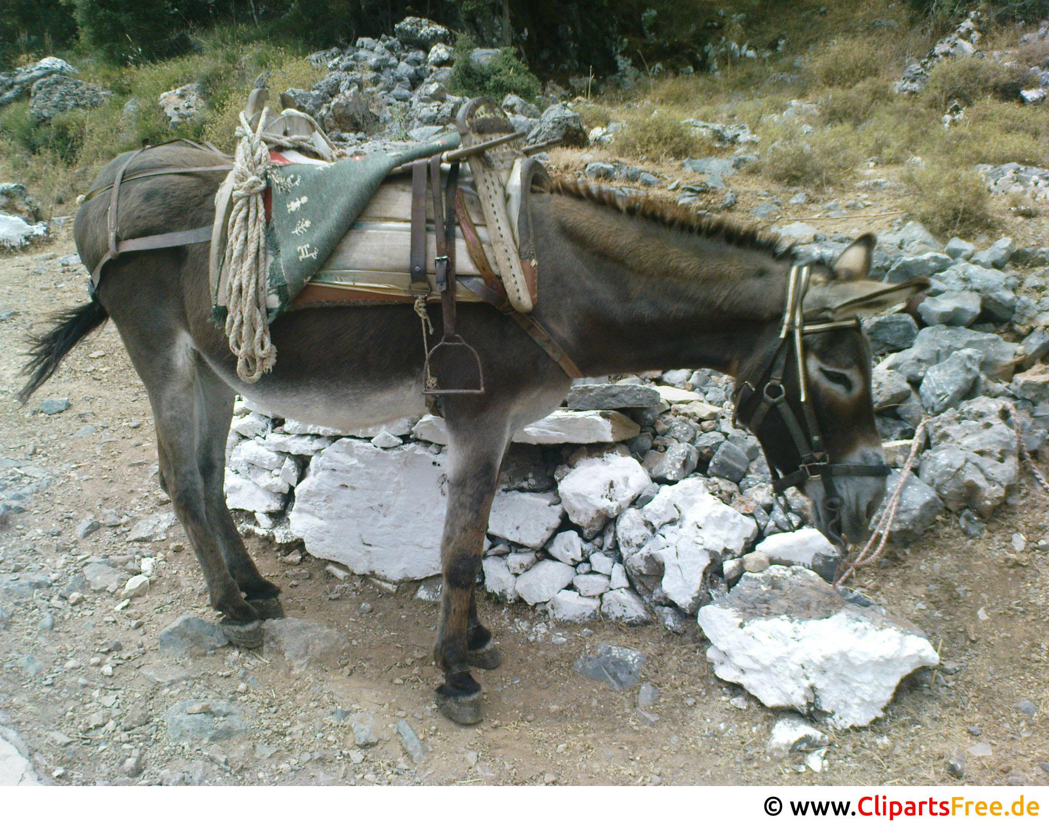 Esel zum Reiten Foto kostenlos