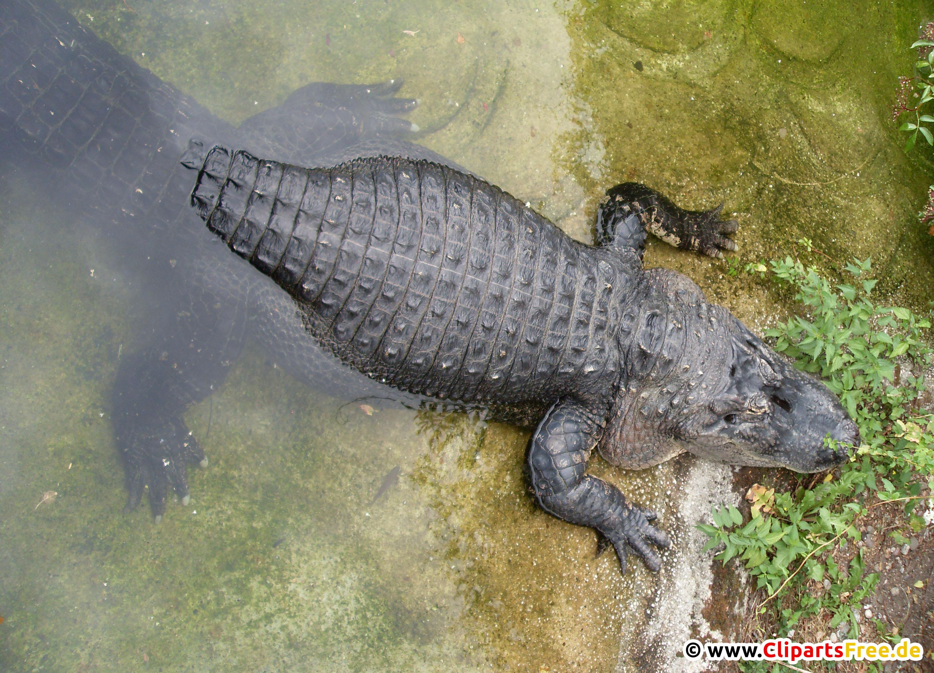 Krokodile Bild kostenlos