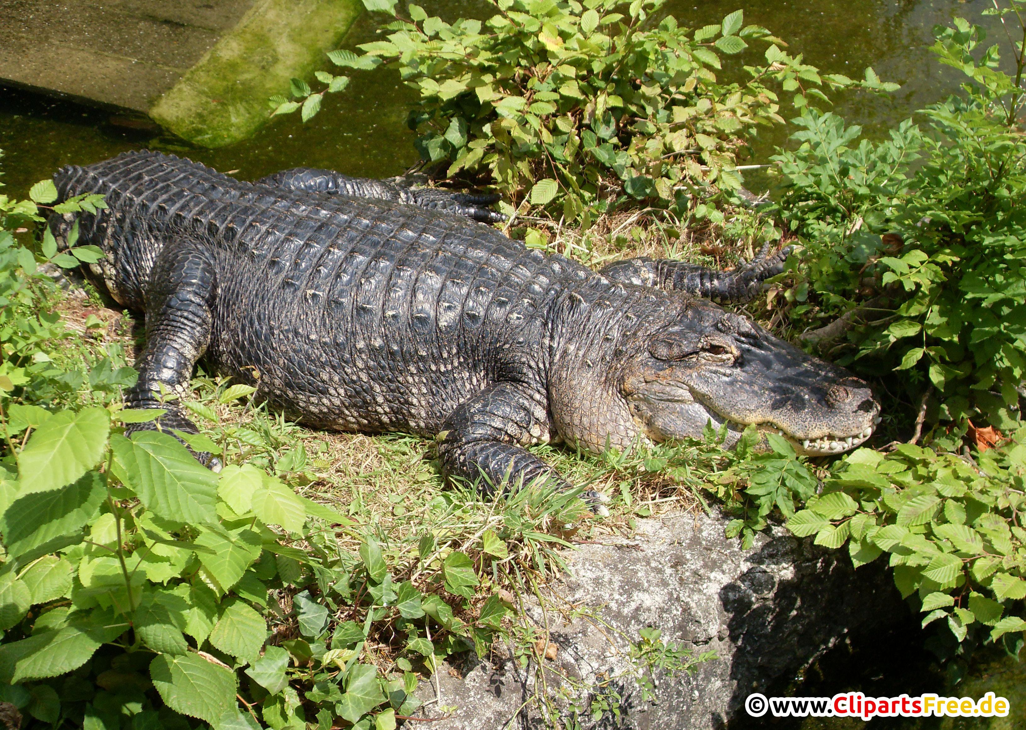 Krokodile Foto kostenlos7