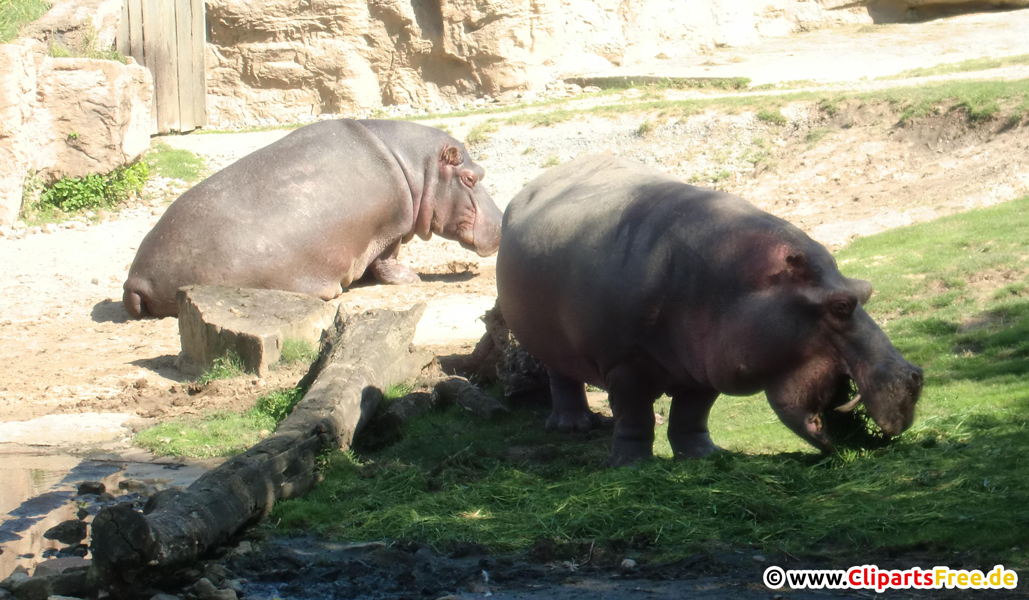 Nilpferde im Zoo Foto kostenlos