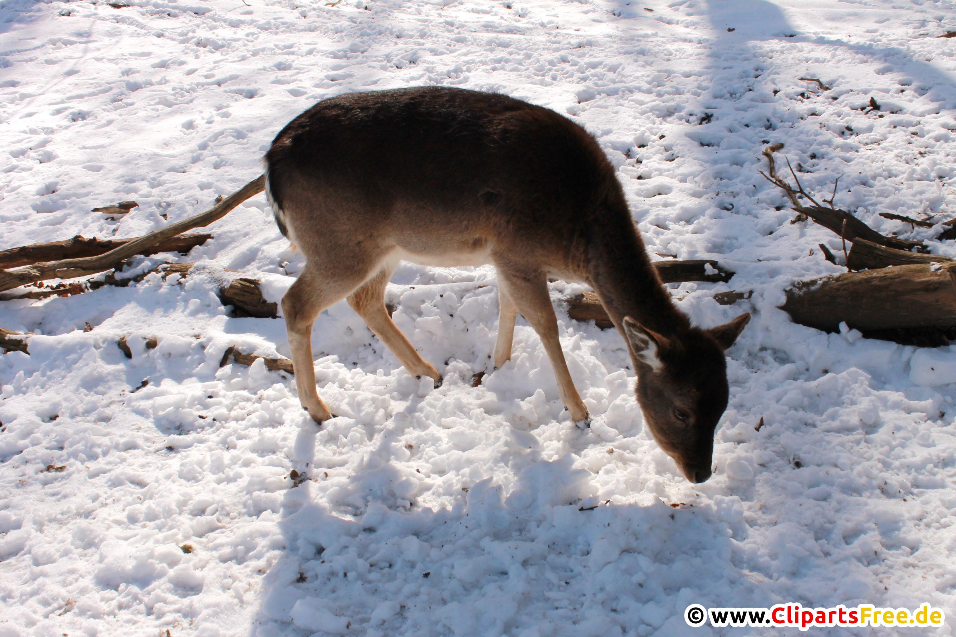 Reh im Winter Foto kostenlos