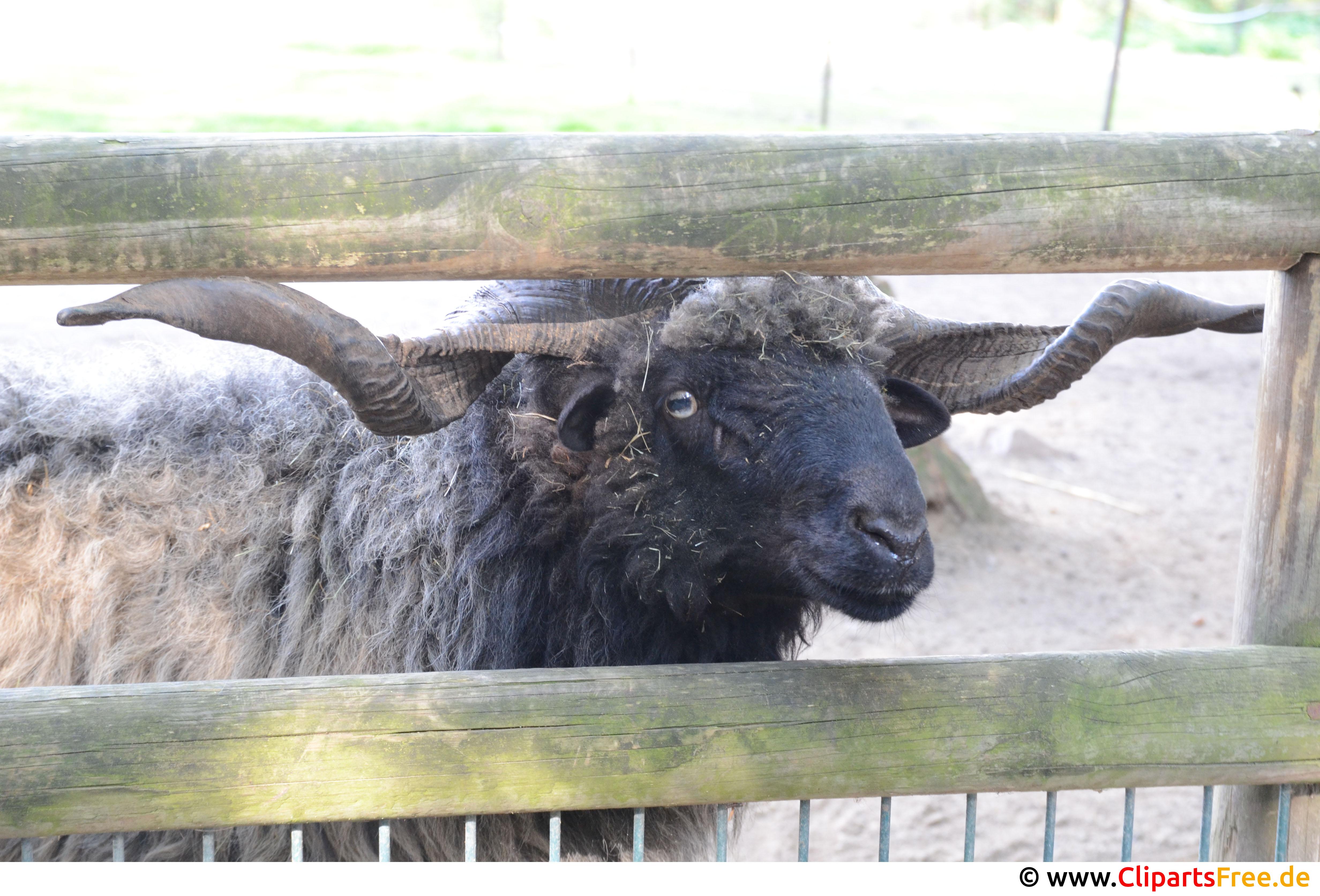Schaf mit Hörnen Foto kostenlos