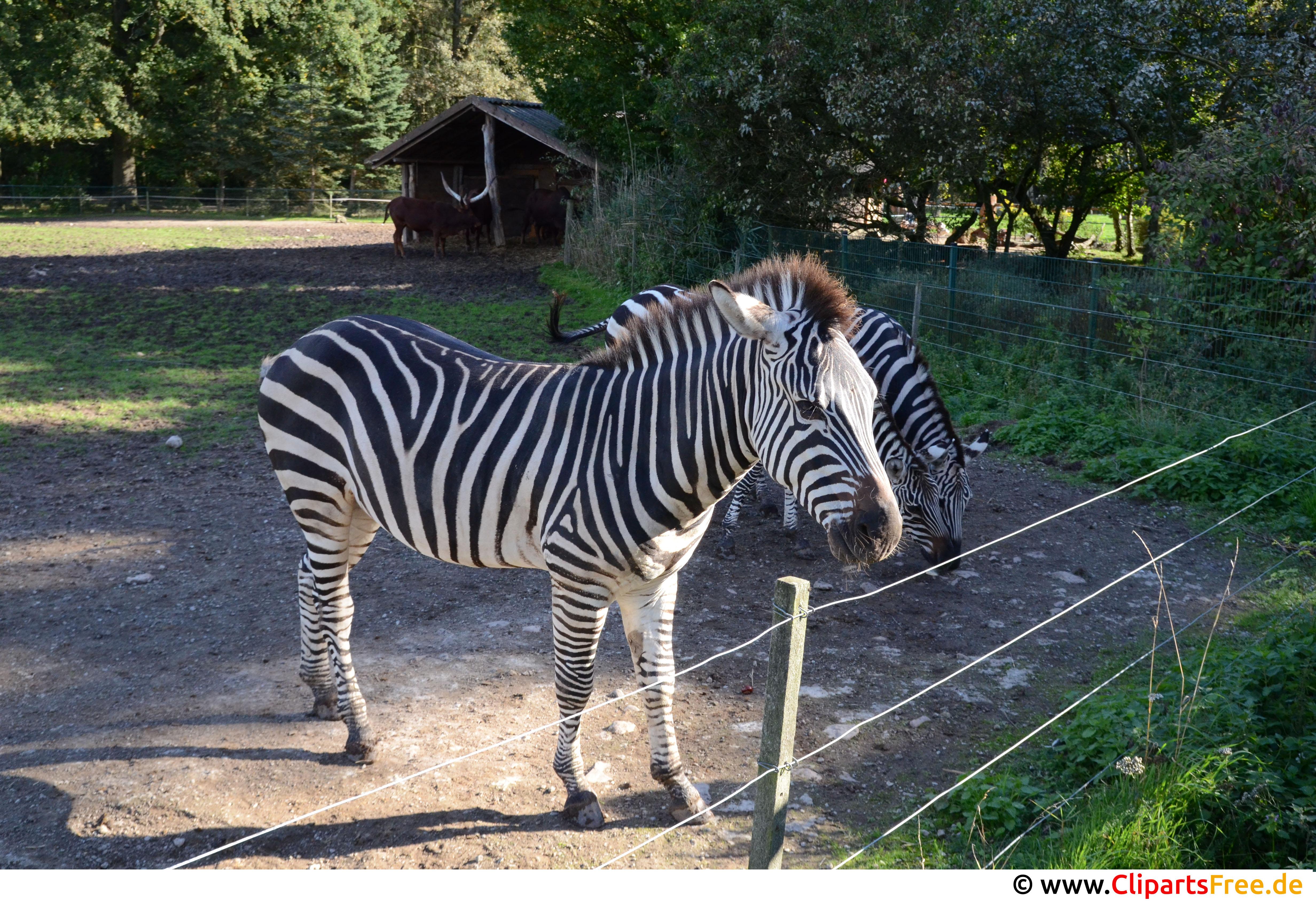 Zebra Foto kostenlos
