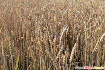 Getreide Feld Foto kostenlos