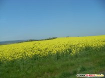 Rapeseed, field photo, picture for free