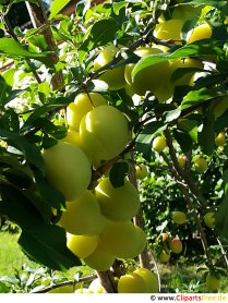 Yellow plums picture, photo, graphic for free