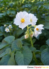 Potato Flower White Clipart Photo Free