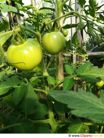 Unripe tomatoes picture, photo, graphic for free