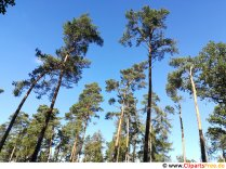 Høje fyrretræer i skoven Gratis foto