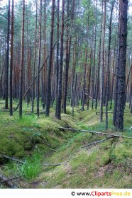Pine forest picture, photo for free