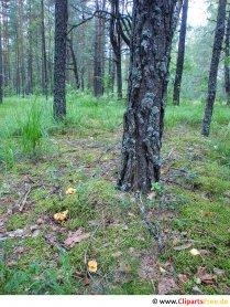 Fotografie, imagine, grafică din pădurea de pini