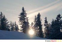 Sol mellem grantræer Foto gratis