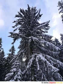 Fir tree in winter, snow image, photo, graphics for free