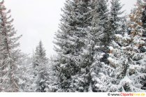 Fir trees in the snow Image, photo, graphic free