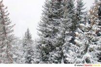 Grantræer i sneen Billede, foto, gratis grafisk