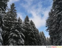 Fir trees in winter Free picture, photo, graphic