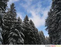 Grantræer om vinteren Gratis billede, foto, grafik