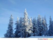 Grantræer dækket med sne Foto gratis