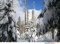 Winter forest billede, foto, grafik gratis