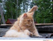 Rød kat foto, billede gratis