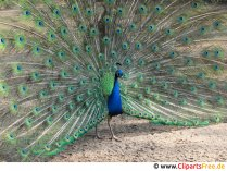 Gratis foto påfågel