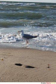 Sorthovedet måge på stranden foto gratis