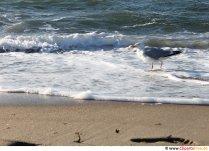 Måge på stranden billede gratis