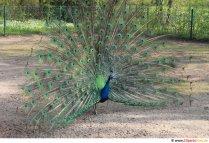 Påfågel foto gratis