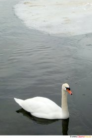 Svanen på vinterens søfoto