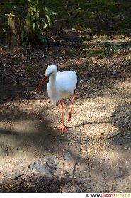 Stork går på stien Stock-foto gratis