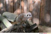 Meerkat Photo Free