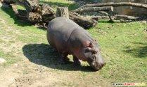 Hippopotamus photo for free