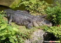 Krokodiller Photo Free7
