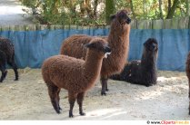 Llama photo free