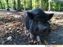 Schwein schwarz Foto kostenlos