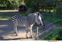 Fotografie Zebra gratuit
